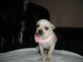 female cream smooth coat chihuahua for sale