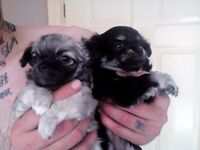 Long haired chihuahua puppies ready to go to a loving home