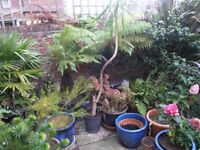 5 Foot Yucca Plant In Container Weymouth Free Local Delivery