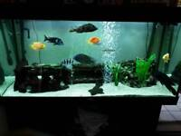 Jewel 300ltr 4ft fish tank full set up with African Cichlids