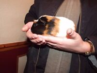 guinea pigs available