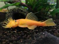 Bristlenose Ancistrus Pleco Tropical Fish Shrimps Snails
