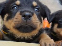 Gorgeous puppy Rottweiler's full German breed