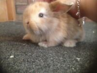 Beautiful mini lop babies available to reserve