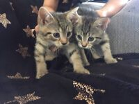 5 kittens for sale ONLY 3 left