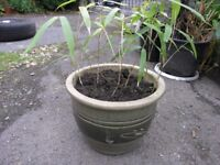 Bamboo Plant In Medium Sized Earthenware Pot Weymouth