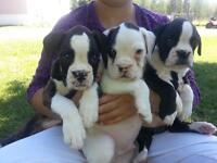 Boxer Puppies (Registered/Health Guarantee)