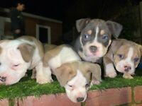 AMERICAN POCKET BULLY PUPPIES READY NOW