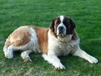 Rough coat Saint Bernards