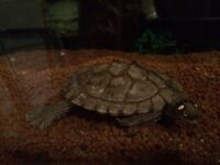 Mississippi turtle needing rehomed