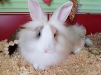 Pretty rabbit for sell- lion head