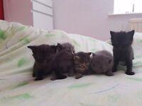 Main coon x british shorthair kittens