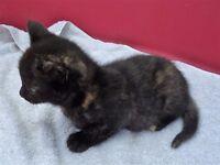 kitten-female 8 weeks