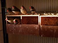 Mutation Zebra Finches