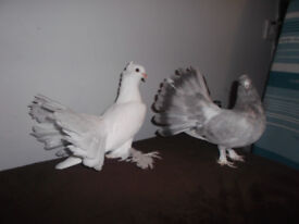 Indian fantail pigeons, excellent birds, beautiful colour