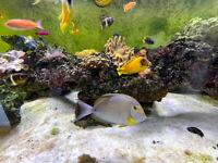 Large Tangs for Sale - Marine fish - Saltwater fish