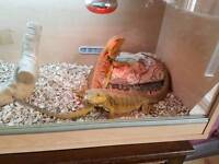 Two Bearded Dragons With Full Set Up