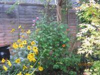 Mature Shrub hibiscus deciduous