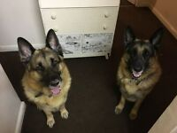 2 male German Shepards looking for a good home