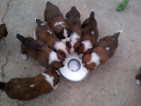 KC Reg St. Bernard Puppies, rough and smooth coat. HealthTested parents