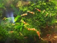 Crystal red & black shrimps