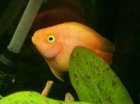 Parrot Cichlid Orange
