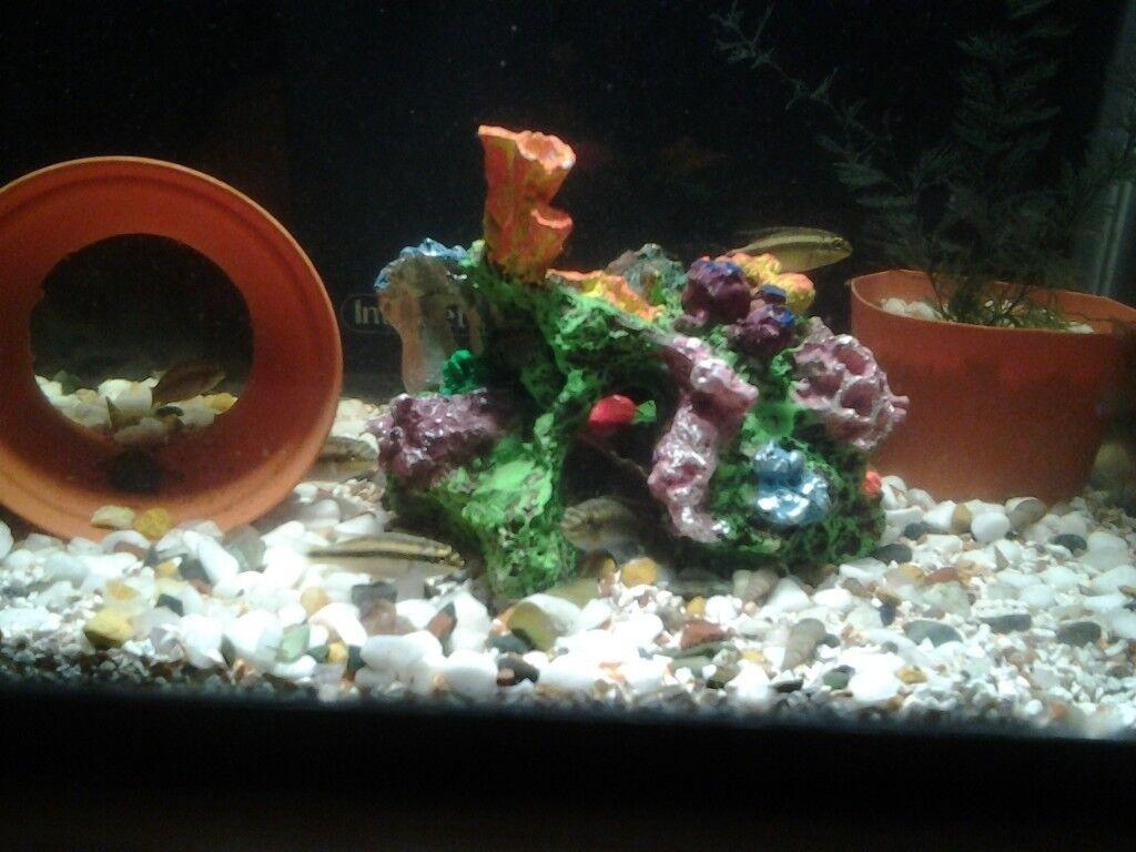 Baby Kribensis Cichlids 3-4 Months