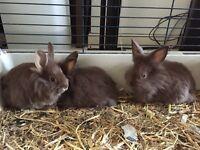 5 brown lion head cross baby rabbits