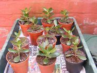 money plants, single pots.