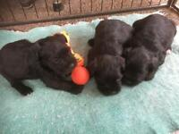 Exceptionally well bred miniature schnauzer puppies
