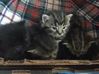 Half Bengal Kitten for sale. £50. Four tabby and one black.
