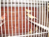 masaic canaries for sale