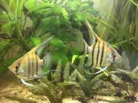 Angel fish Pair