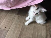 Beautiful fluffy kitten for sale
