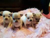 ALL SOLD 4 x Chihuahua puppies Hucknall