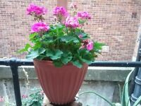 Large beautiful Geranium plant