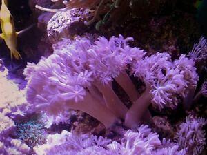 Pulsing Xenia Marine Soft Coral Pom Pom Beautiful Frag For Marine Aquarium