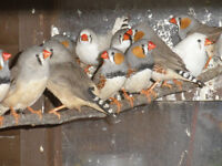 zebra finches for sale £3 each this years birds bring your own carry box