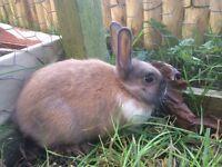 9 week old tri colour Netherland Dwarf mix buck rabbit