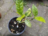 Aucuba Japonica `Gold Dust' plant in a small 10 cm pot