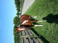 Gorgeous APHA Gelding for PART BOARD