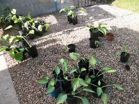 Hosta Plants 8 different variaties £1 each plant