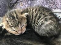 4 beautiful cross Bengal kittens