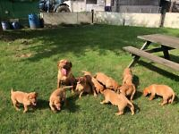KC registered Fox Red Labs Ready now