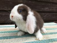 Adorable mini lops to reserve