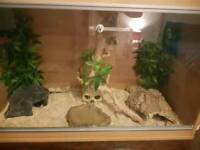 Corn snake & viv with accessories