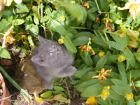 British Blue/British Silver Tabby Kittens