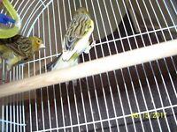 Pair of beautiful canaries, SUMMER BARGAIN.