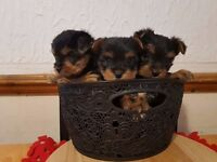 3 famale Yorkshire Terrier puppy's