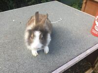 2. X 9 week old baby rabbits for sale with strong double hutch complete set up ready to go £120 Ono